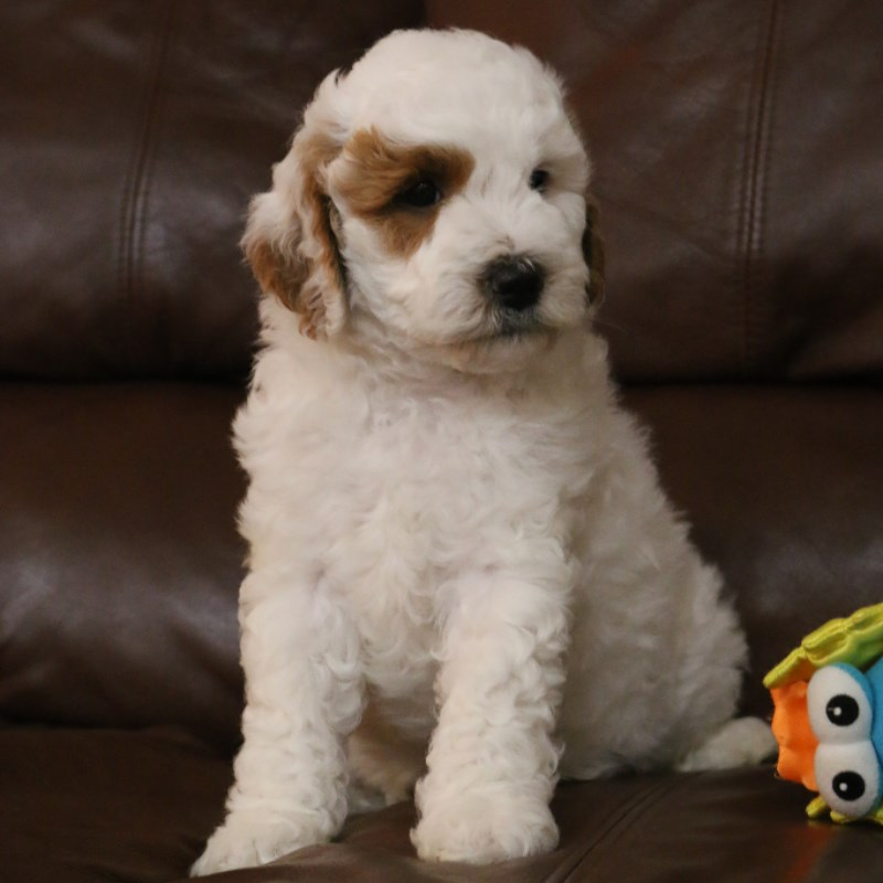 Your Home For Family Raised Golden Doodle Puppies For Sale
